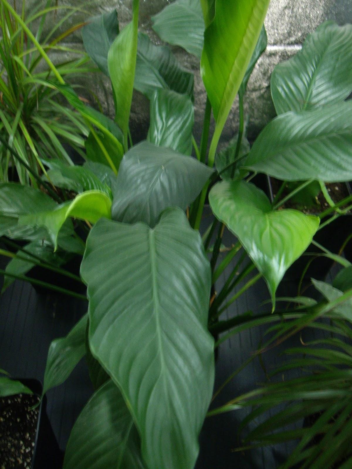 planta ornamental hojas acorazonadas las claves para