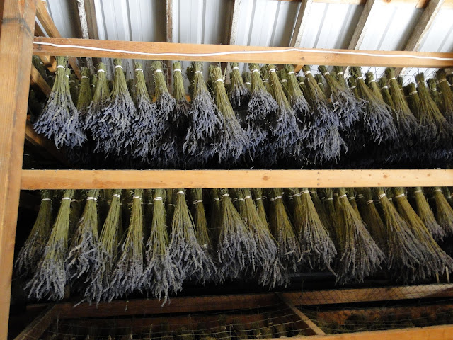 lavender bunches hanging in barn