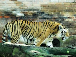 Tigre no Parque Zoológico de Sapucaia