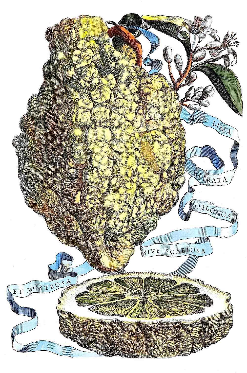 a Giovanni Battista Ferrari illustration a lime