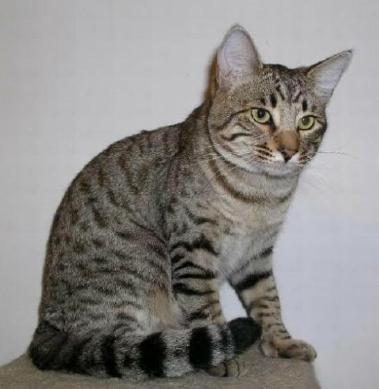 kucing abu abu hitam