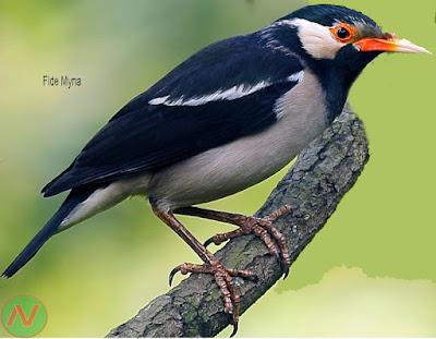 pied myna bird, গোশালিক