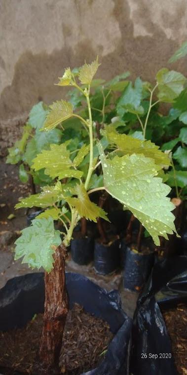 bibit anggur murah batang besar Gorontalo