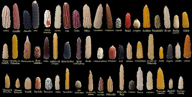 ejemplos de maíz en méxico
