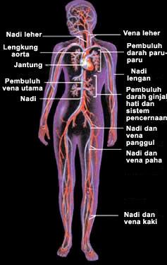 Sistem Organ Peredaran Darah Pada Manusia Beserta Gambarnya