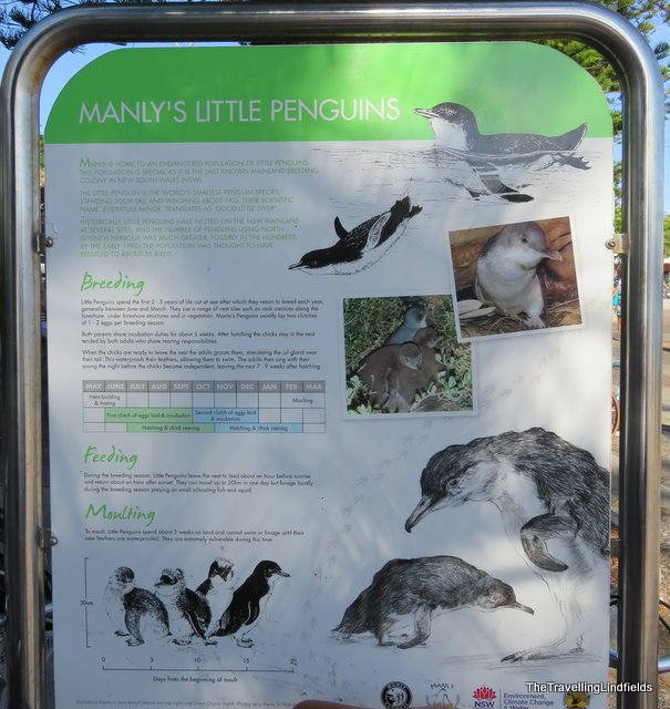Little Penguin sign Manly