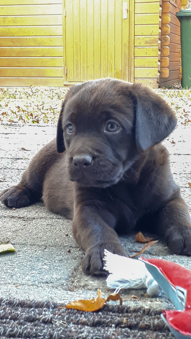 Cooper - 7 weeks old Chocolate Labrador Retriever.
