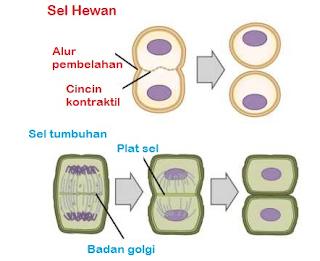 Perbedaan Sitokinesis pada Sel Hewan dan Sel Tumbuhan (Terbaru)