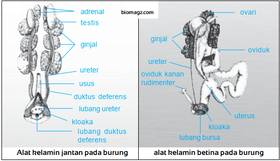 Gambar organ reproduksi pada burung