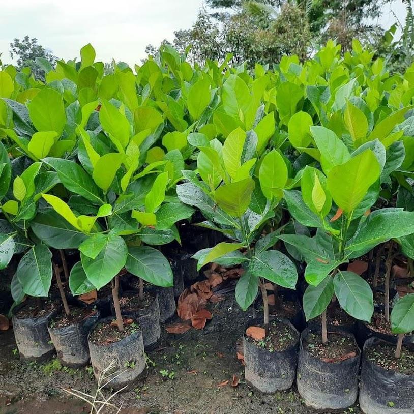 bibit nangka cempedak bibit buah nangkadak okulasi cepat berbuah Sumatra Utara