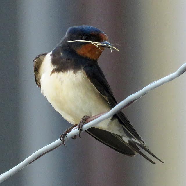A swallow, Scali delle Ancore, Livorno
