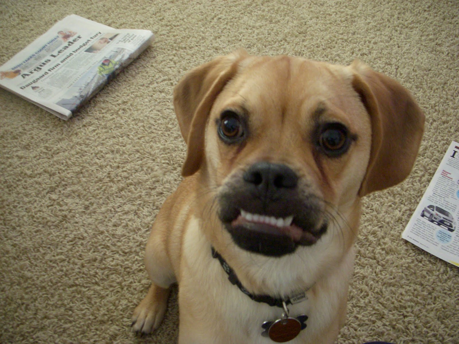The gallery for --> Full Grown Puggle