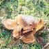 Polícia Ambiental constata corte ilegal de 28 pinheiros e 7 imbuias