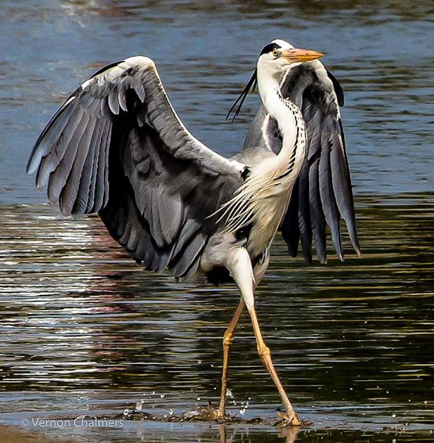 Grey heron walking the Milnerton Lagoon, Woodbridge Island