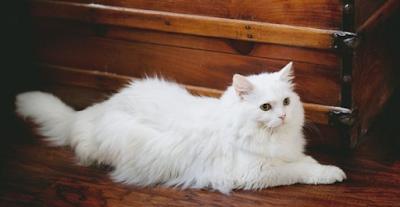 Cara Menyisir bulu Kucing