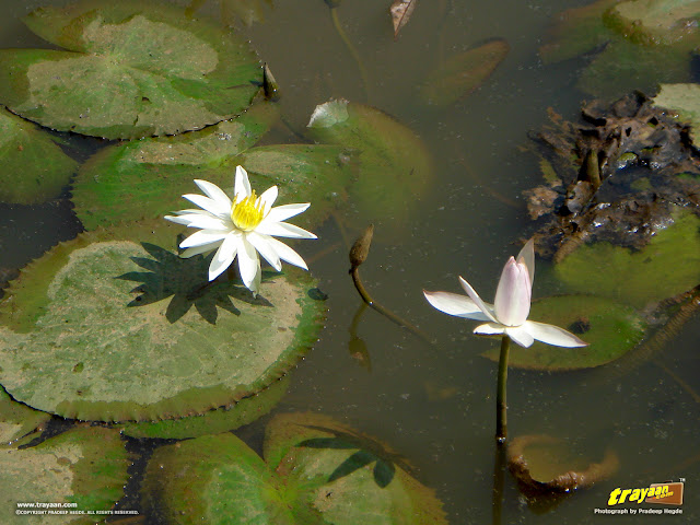 White Water Lilies in the pond