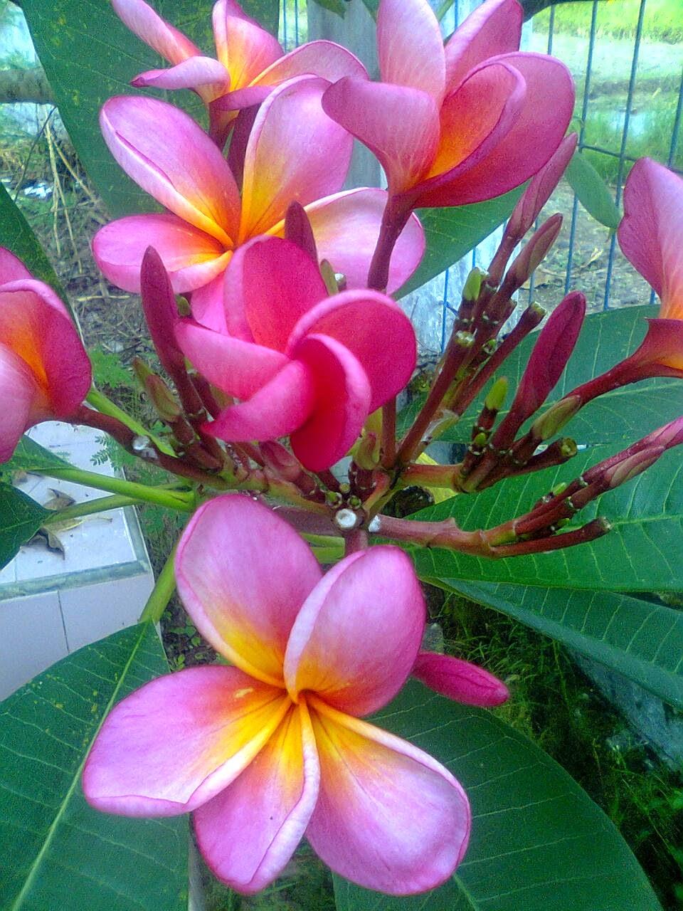 Paling Top 52 Gambar Bunga Kamboja Cantik