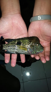 ikan golsom