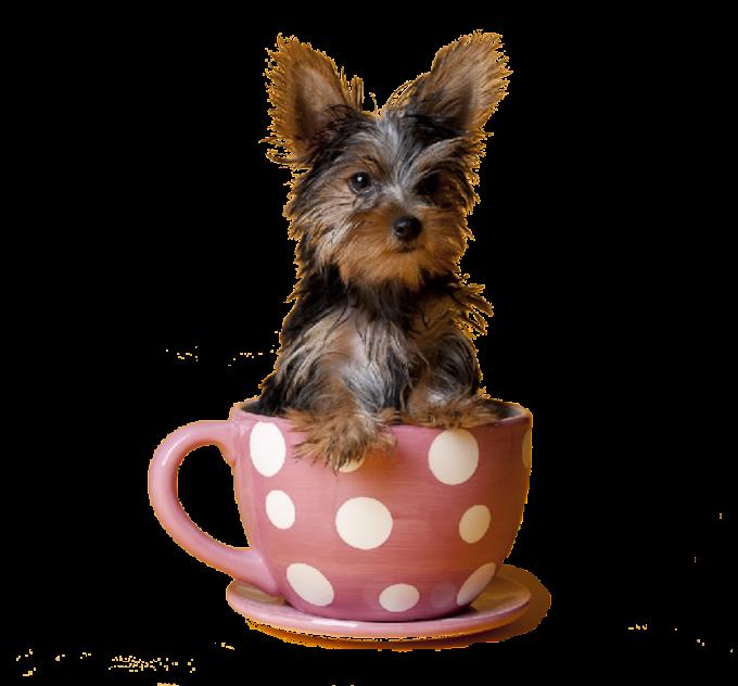 puppy yorkshire terrier puppy pomeranian scottish terrier tea, animals, carnivoran png by: pngkh.com