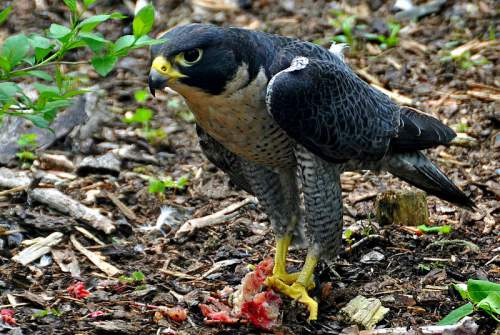Indian birds - Image of Peregrine falcon - Falco peregrinus