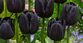 Tulip hitam