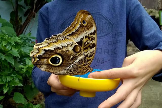 farfalle tropicali in veneto italia