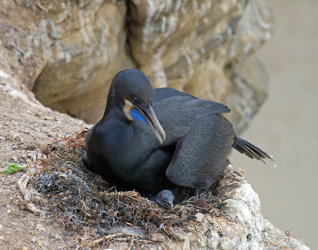 Brandt's Cormorant and chick