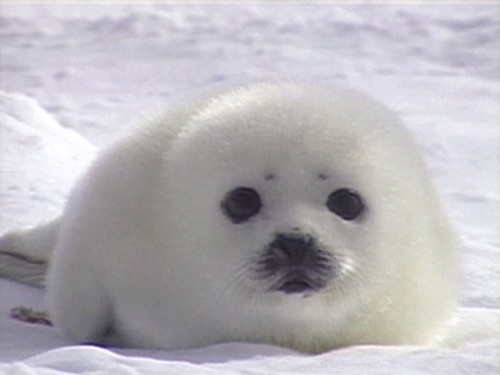 Underwater chitchat: My polar buddies out in the Arctic! - photo#12