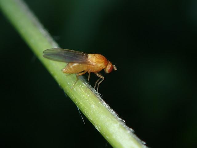 Sapromyza sp