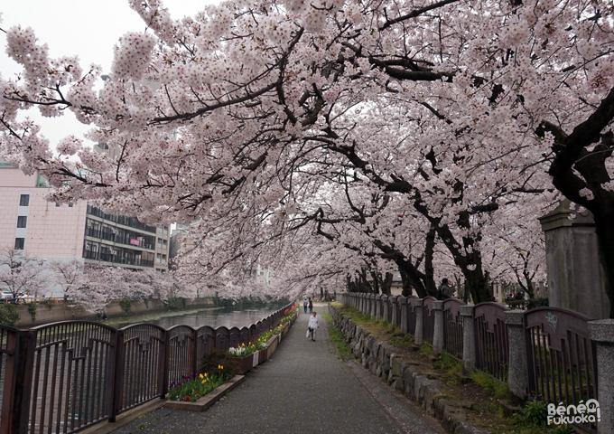 Sous les cerisiers, parc Chûô, Fukuoka