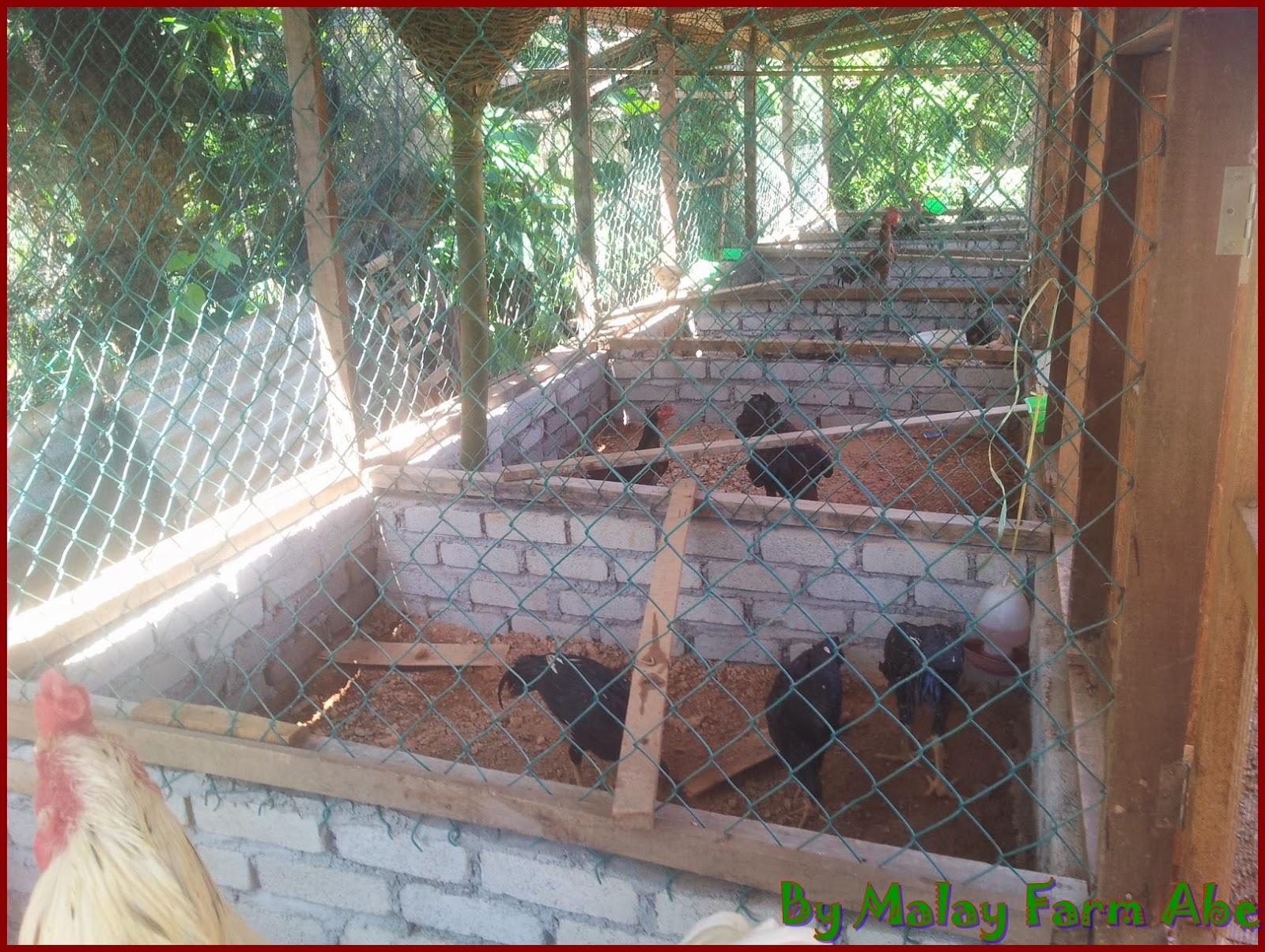 contoh kandang indukan ayam bangkok