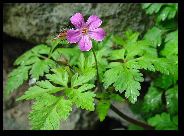 Informatii despre planta medicinala numita naprasnic (Geranium robertianum)