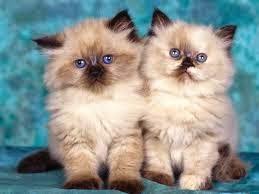 gato-himalayo-comportamiento-personalidad