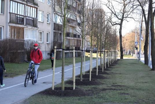 Vilniaus Ostapas Benderis išrado naują liepų sodinimo metodą: sodinti jas kas metrą! Taip daugiau galima pavogti...