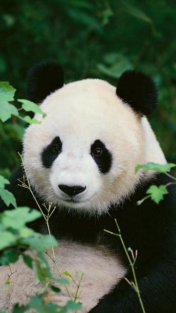 iphone panda wallpaper