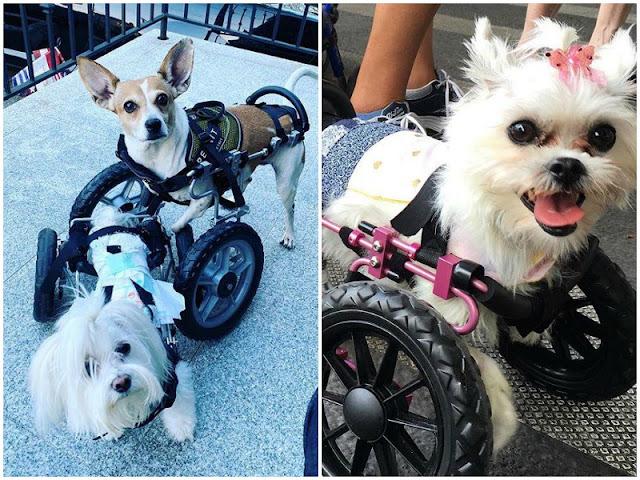 Семейная пара дарит новую жизнь парализованным собакам! видео