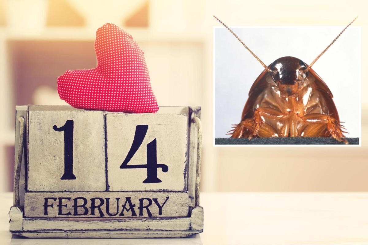Cockroach, Valentines Day