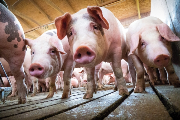 China study warns of possible new `pandemic virus` from pigs