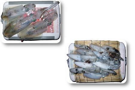 和歌山沖 明石沖 アオリイカ 関西の船釣りで釣れる 竿とリール