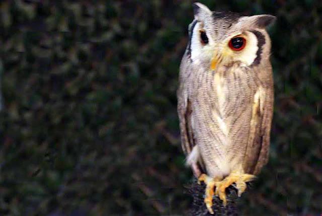 animals, birds, owl,photography, Okinawa, zoo