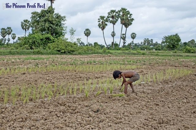 A young boy plants seedlings in a dry rice paddy late last year. Victoria Mørck Madsen