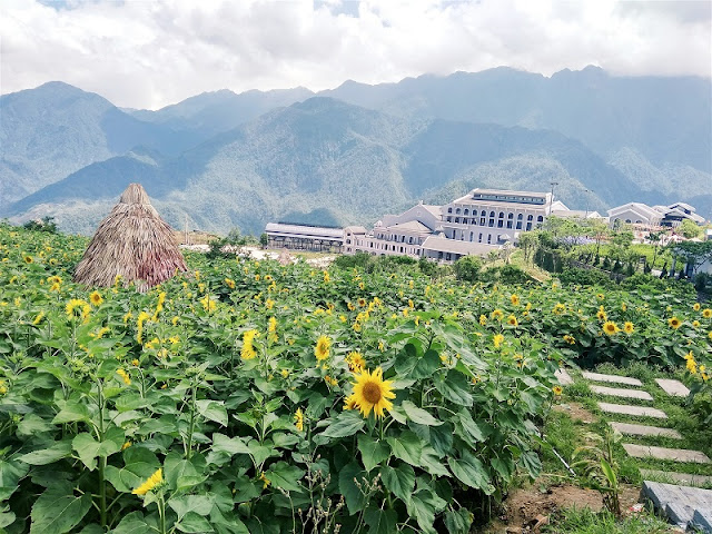 New Stunning sunflower fields in Fansipan Legend, Vietnam