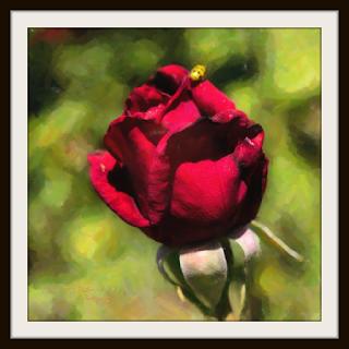 Prize Rose