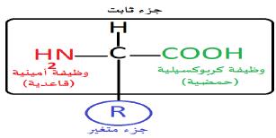 الصيغة الكيميائية العامة للأحماض الأمينية