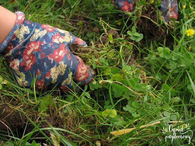 kwiaty cebulowe, na trawniku, cebule kwiatowe, ogród przydomowy
