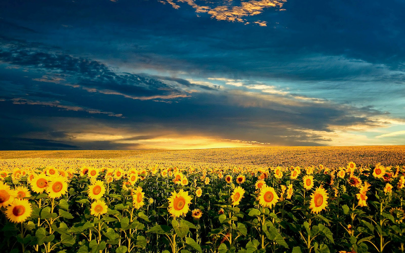 hd sunflowers wallpapers