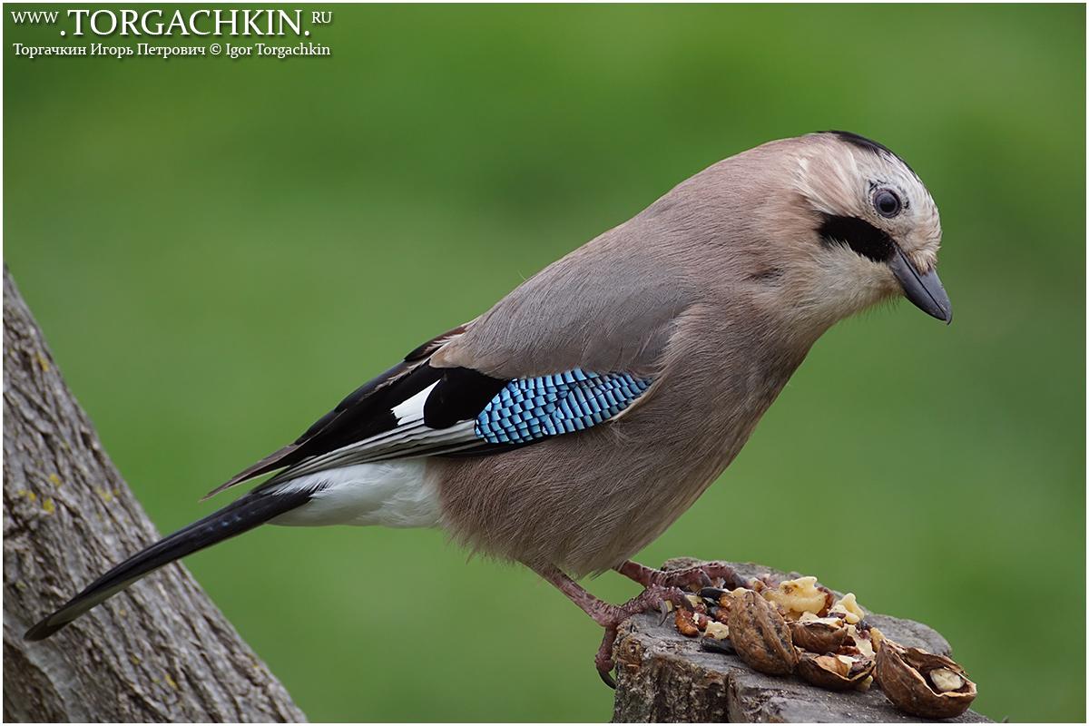 Птицы краснодарского края фото и названия