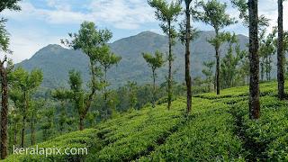 Tea Estate of Nelliyampathy hills, Palakkad, Kerala
