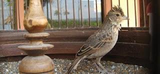 Burung Branjangan Legendaris - Burung Branjangan yang Berasal dari Yogyakarta