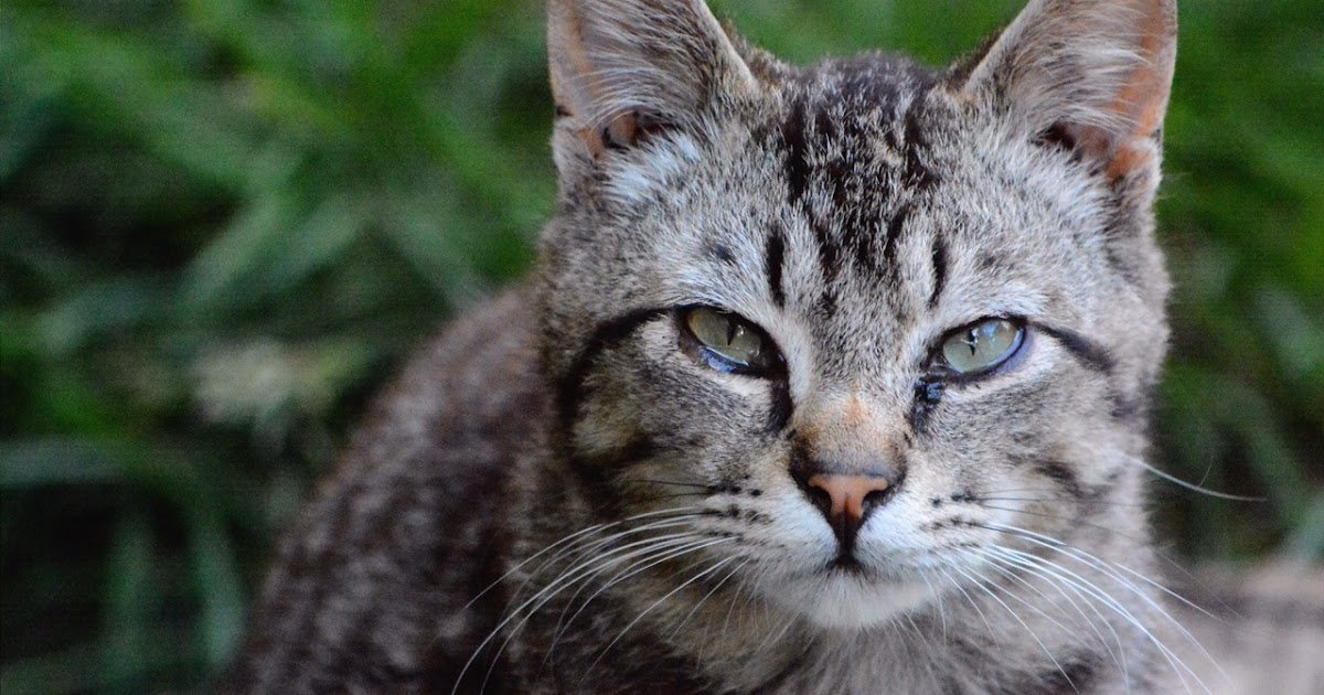 The Feral Life #Compassion Cats: Lil Gray Tabby Cat